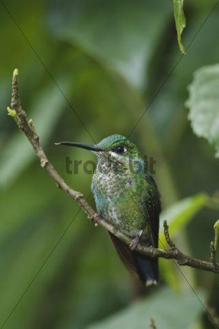 Grünscheitelbrillant (Heliodoxa jacula), sitzendes Männchen, Central Valley, Costa Rica, Mittelamerika