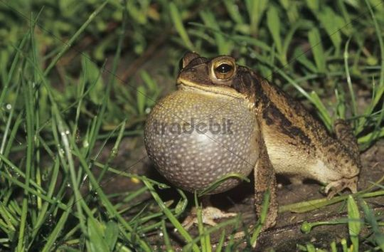 Gulf Coast Toad (Bufo valliceps), male calling at night, vocal sac inflated, Willacy County, Rio Grande Valley, Texas, USA