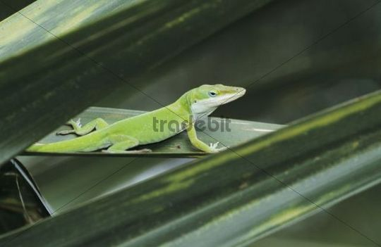 Green Anole (Anolis carolinensis), adult on palm leaf, Sabal Palm Sanctuary, Rio Grande Valley, Texas, USA