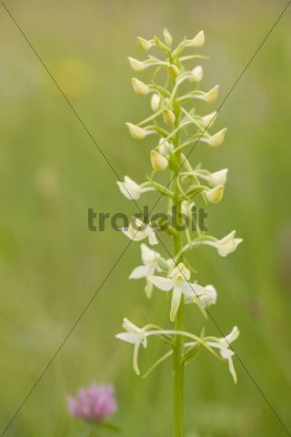 Lesser butterfly-orchid (Platanthera bifolia), Lafnitzau, Burgenland, Austria, Europe