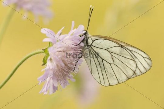 Black-veined white (Aporia Crataegi) on flower of Field scabious (Knautia arvensis), Thenauriegel nature reserve, Burgenland, Austria, Europe
