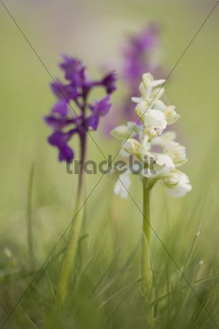 Green-winged orchid or Green-veined orchid (Anacamptis morio), Lobau, Vienna, Austria, Europe