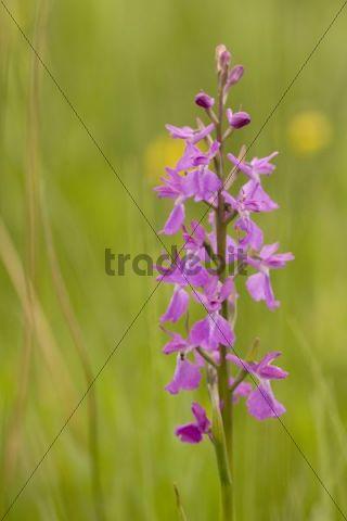 Orchid species (Anacamptis palustris), Lower Austria, Austria, Europe