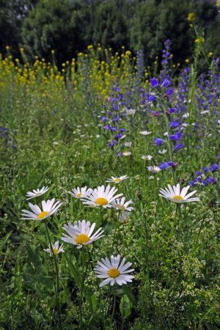 Summer meadow with daisies (Leucanthemum vulgare)