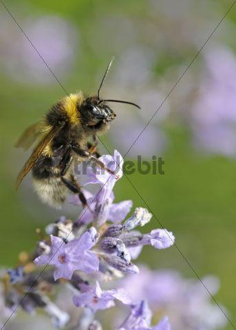 Bumlebee (Bombus spec.), Common lavender (Lavandula angustifolia)