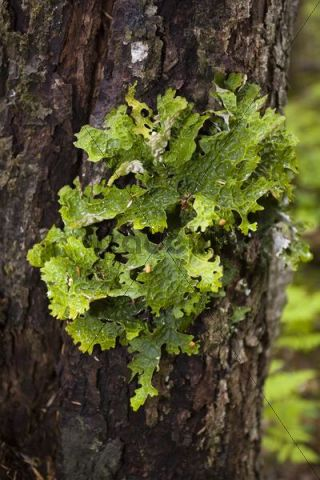 Moist Lungwort Lichen (Lobaria pulmonaria) growing on tree bark, Pacific Northwest Coastal Rain Forest, Chilkoot Trail, Chilkoot Pass, Alaska, USA