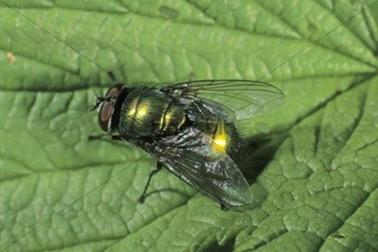 Bottle fly species (Lucilia bufonivora)