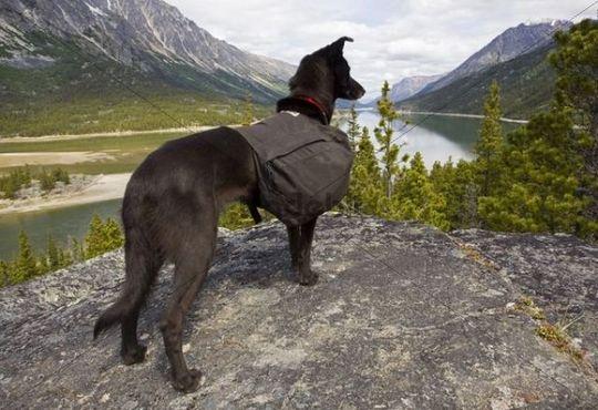 Sled dog with pack, Alaskan Husky, enjoying view over Lake Bennett, Chilkoot Pass, Chilkoot Trail, Yukon Territory, British Columbia, B. C., Canada