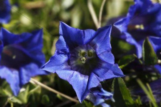 Clusius´ gentian (Gentiana clusii)