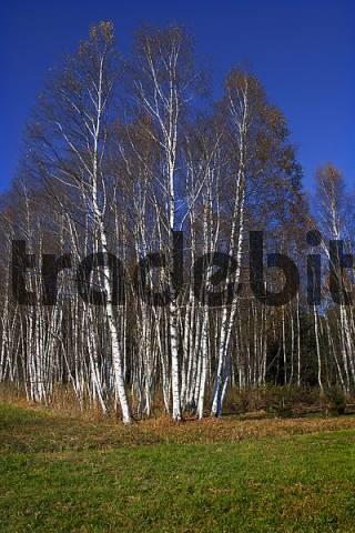 birches birch trees Starnberg Lake Bavaria Germany