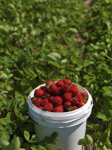 Bucket full of ripe strawberries at a pick-your-own farm, Markham, Ontario, Canada