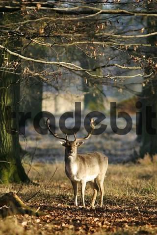 Fallow deer Dana dana in the forest