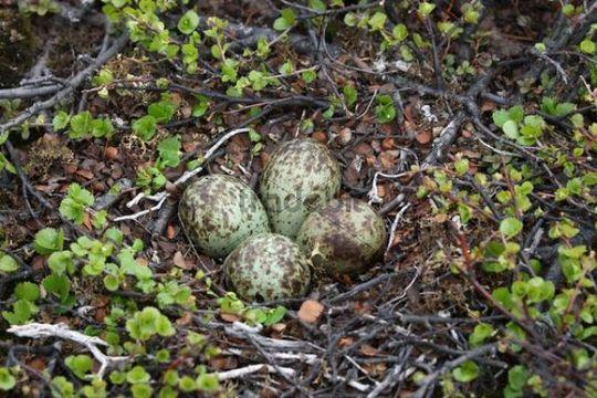 Nest of eggs of the Whimbrel (Numenius phaeopus)