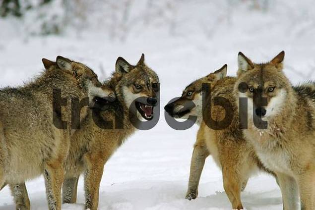 Social behavior of wolfes, game reserve, Bavarian forest, Germany