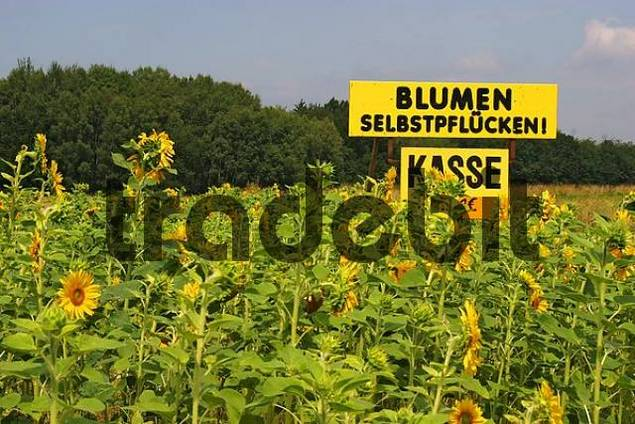 big yellow board advertising self-picking of sunflowers Helianthus annuus
