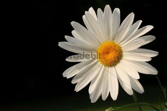 Daisy (Chrysanthemum Leucanthemum)