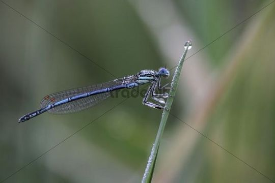 Damselfly (Zygoptera) on a blade of grass