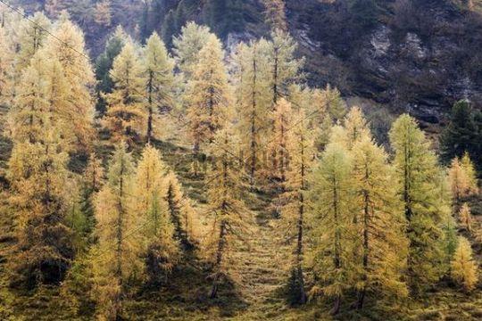 Larch (Larix) in autumn in the Rauriser Tal valley, Nationalpark Hohe Tauern National Park, Salzburg, Austria, Europe