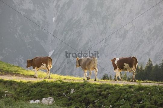 Cows on a pasture, Walderalm, Karwendel, North Tyrol, Austria, Europe