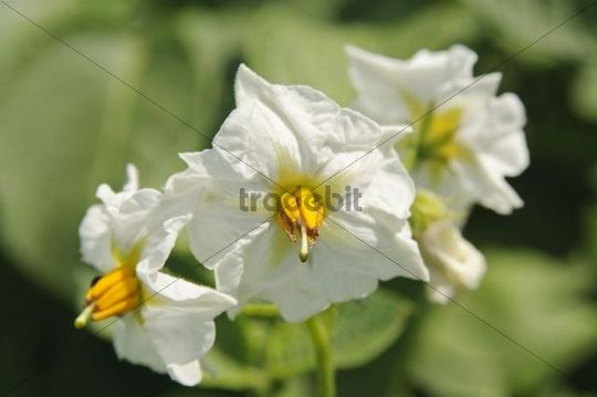 Potato (Solanum tuberosum), blossoms