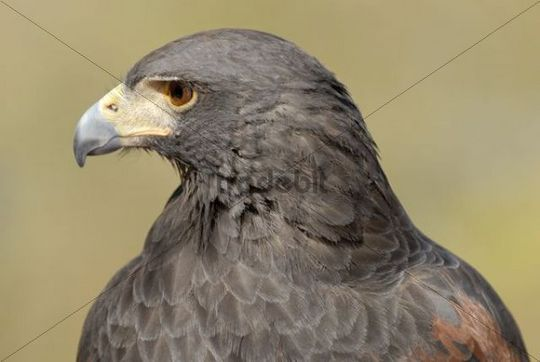 Harris´s Hawk (Parabuteo unicinctus), portrait, Arizona Sonora Desert Museum, Saguaro National Park West, Tucson, Arizona, USA