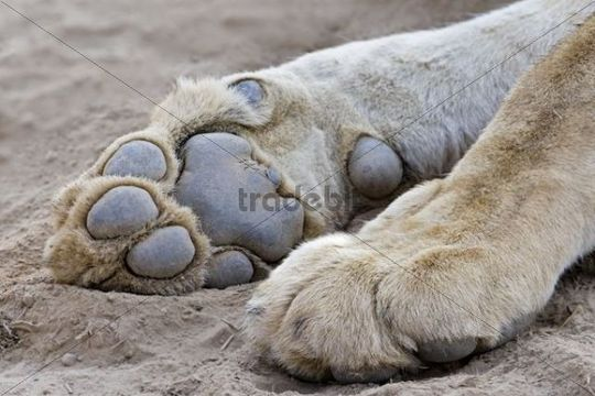 Paws of a Lioness or Lion (Panthera leo), South Luangwa National Park, Zambia, Africa
