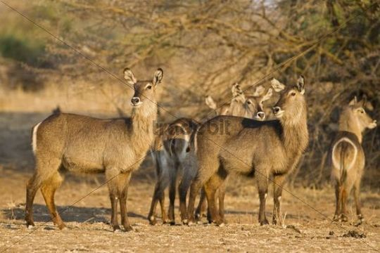 Waterbucks (Kobus ellipsiprymnus), South Luangwa National Park, Zambia, Africa