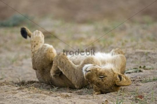 Tired young Lion (Panthera leo), South Luangwa National Park, Zambia, Africa