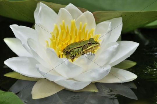 Water Frog (Rana esculenta, Pelophylax kl. Esculentus) on blossoming Water Lily (Nymphaea)