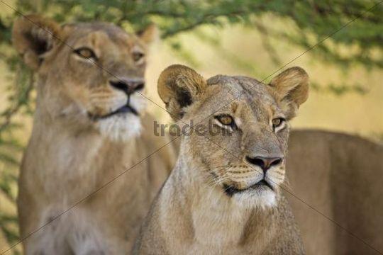 Lioness (Panthera leo), Moremi National Park, Okavango Delta, Botswana, Africa
