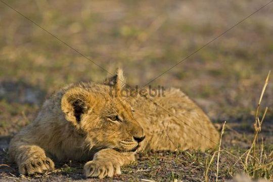 Lion (Panthera leo), cub, Moremi National Park, Okavango Delta, Botswana, Africa