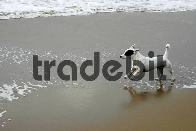 little black and white dog is running at the beach