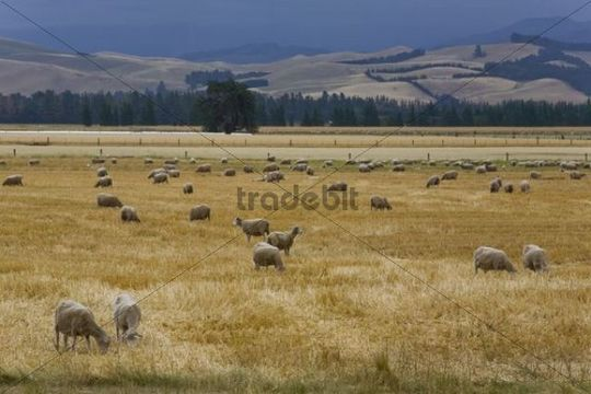 Grazing sheep (Ovis orientalis Aries) in a golden field, Mouse Point, South Island, New Zealand