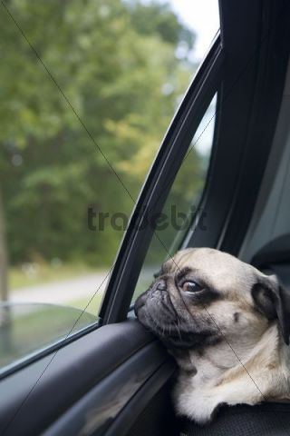 Car Detail Shop >> A young pug on the back seat of a driving car is looking ...