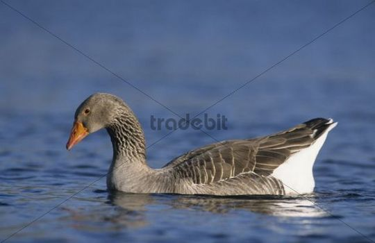 Greylag Goose (Anser anser), adult swimming, New Braunfels, Hill Country, Texas, USA