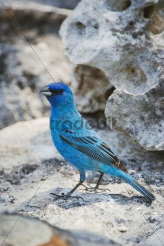 Indigo Bunting (Passerina cyanea), male, Uvalde County, Hill Country, Central Texas, USA