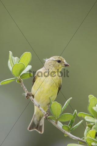 Lesser Goldfinch (Carduelis psaltria), female perched, Uvalde County, Hill Country, Texas, USA