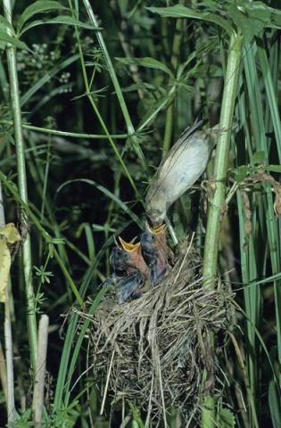 Marsh Warbler (Acrocephalus palustris), adult feeding young in nest, Dersbach, Switzerland, Europe