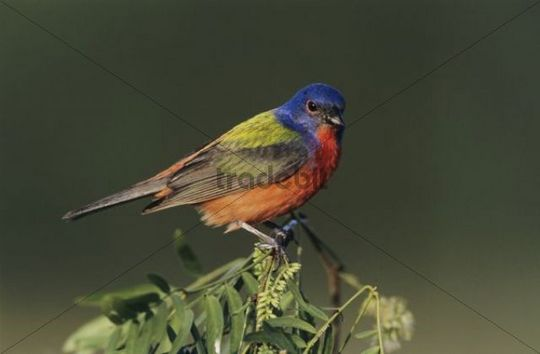 Painted Bunting (Passerina ciris), male on mesquite tree, Starr County, Rio Grande Valley, South Texas, USA