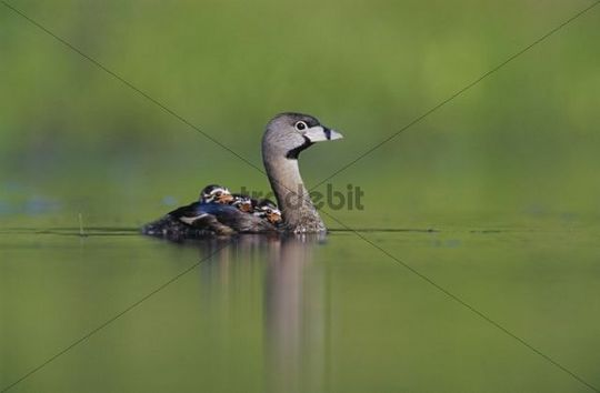 Pied-billed Grebe (Podilymbus podiceps), adult swimming with young on back, Willacy County, Rio Grande Valley, South Texas, USA