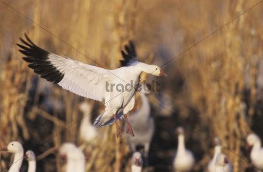 Snow Goose (Chen caerulescens), adult in flight, Bosque del Apache National Wildlife Refuge, New Mexico, USA