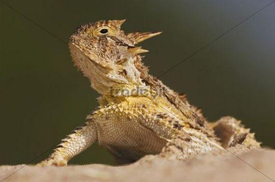 Texas Horned Lizard (Phrynosoma cornutum), adult, Willacy County, Rio Grande Valley, South Texas, USA