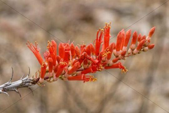 Blossom of the Vine Cactus (Fouquieria splendens), Anza-Borrego Desert State Park, Southern California, California, USA