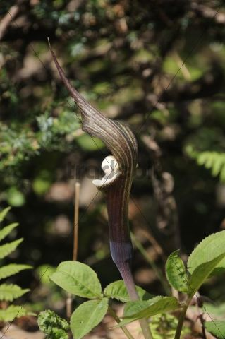 Shikoko, Japanese Jack-in-the-Pulpit (Arisaema sikokianum) on fertile soil in a sunny location in Japan, East Asia, Asia