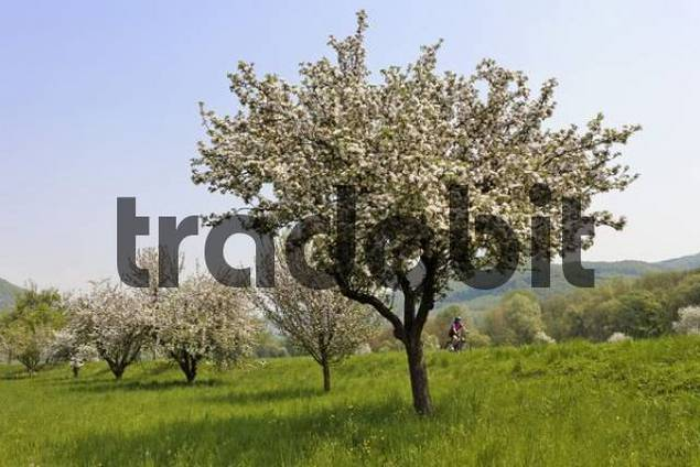 blooming fruit trees, area of Wachau, Lower Austria, Austria