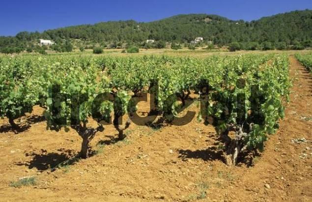 vinyard near Sant Mateu dAlbarca