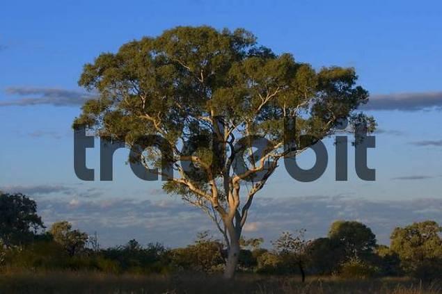 Eucalypt in Karijini NP, Westaustralia, Australia