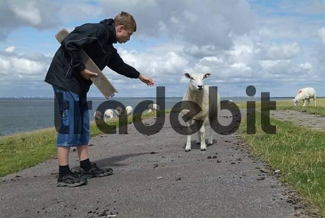 sheeps on the north sea island nortstrand