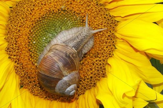 Roman snail, Edible snail, Burgundy snail (Helix pomatia) on a flowering Common sunflower (Helianthus annuus)
