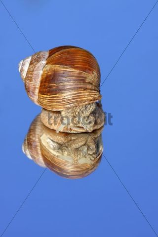 Roman snail, Edible Snail, Burgundy Snail (Helix pomatia) looking at its mirror image